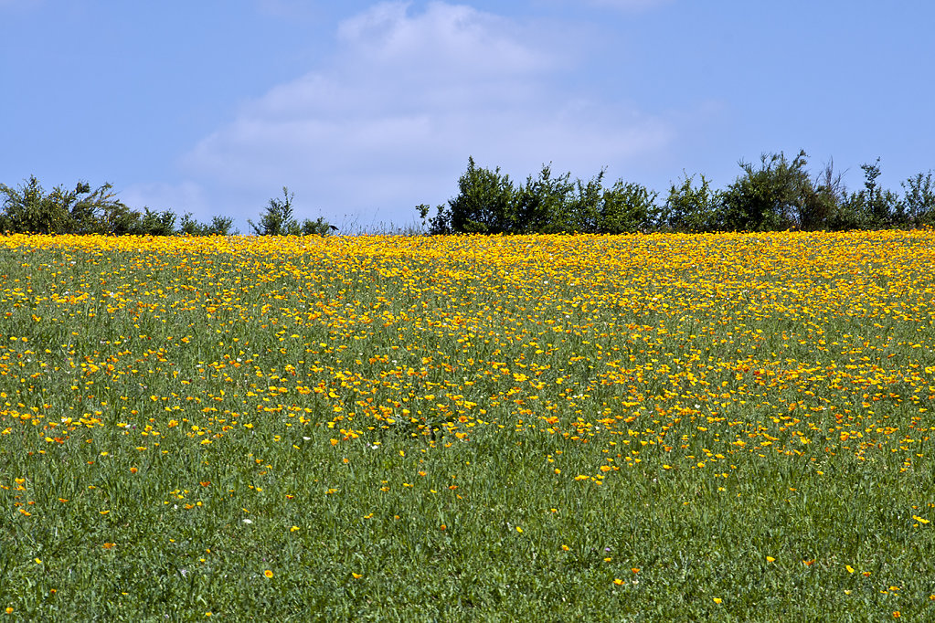 Le champ fleuri